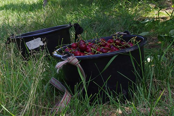 Kirschen im Eimer