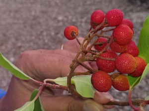 Für Sie entdeckt – Erdbeerbäume in der Türkei