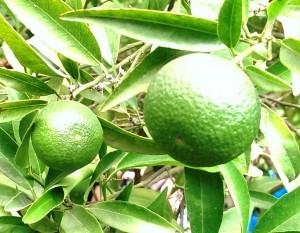 Orangen am Baum grün