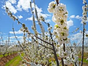 Kirschen in der Extremadura